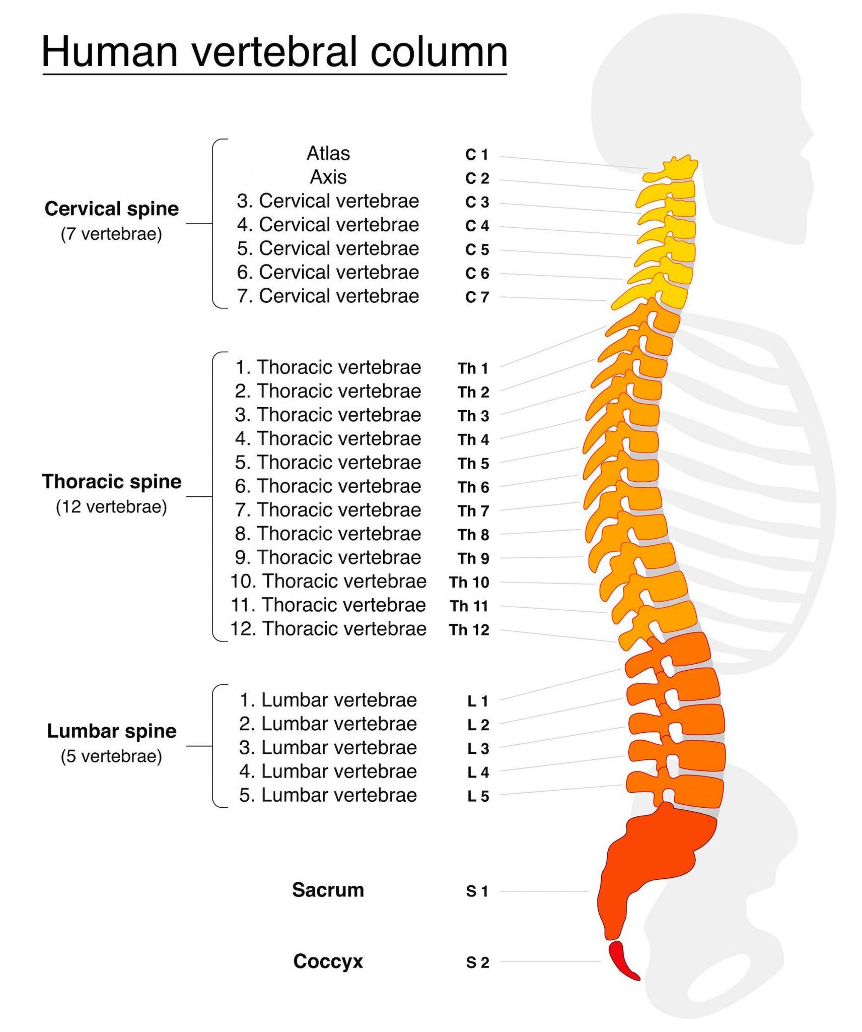 Thoracic Spine Holistic Bodyworks South East Melbourne
