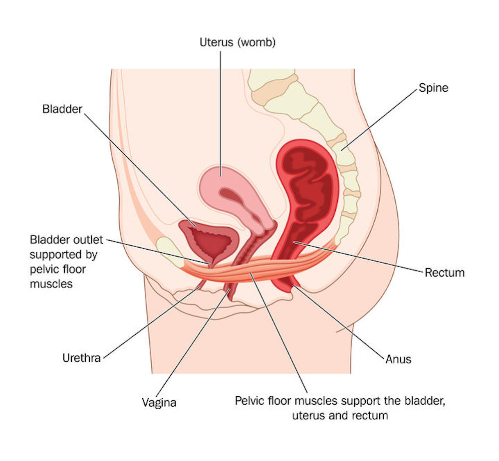 Anatomical image depicting the female perineum and the attachments of the Pelvic Floor muscles