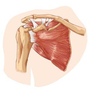 white background vector illustration of rotator cuff anatomy