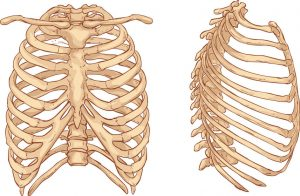 white background vector illustration of a rib cage illustration where you can get a rib sprain