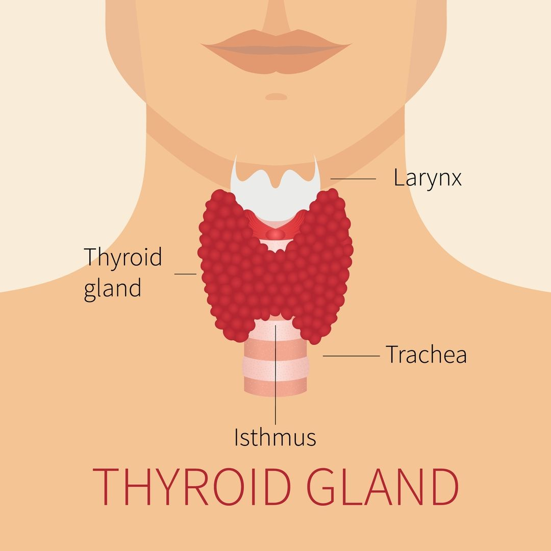 Image showing the anatomy of the thyroid gland
