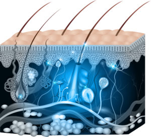 Image showing the anatomy of skin